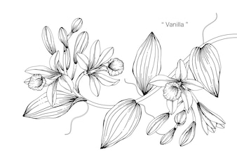 Vanilla flower drawing illustration
