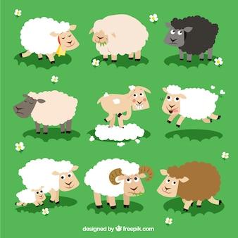 Variety of sheeps