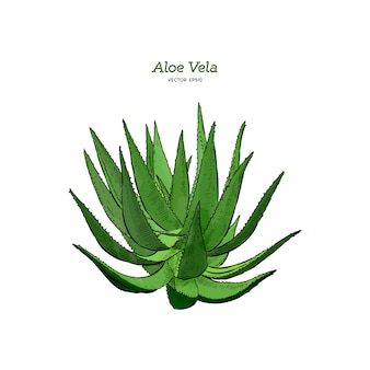 Vector aloe vera hand drawn illustrations.