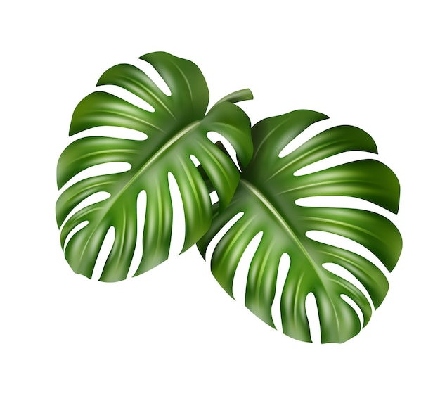 Vector big green leaves of tropical monstera plant isolated on white background