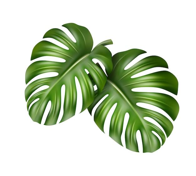 Vector grandi foglie verdi della pianta tropicale monstera isolato su sfondo bianco