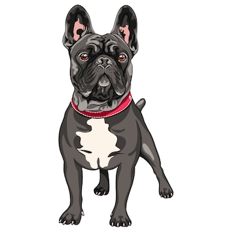 Vector black dog french bulldog breed standing, the most common colouring