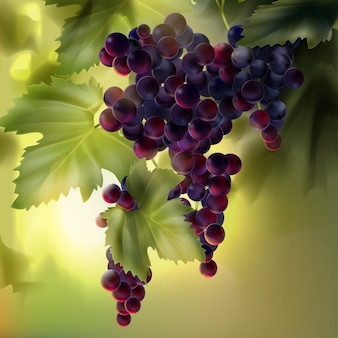 Vector bunch of red grapes with leaves in vineyard on background with bokeh