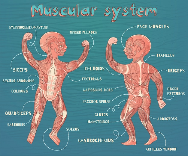 Vector cartoon illustration of human muscular system for kids