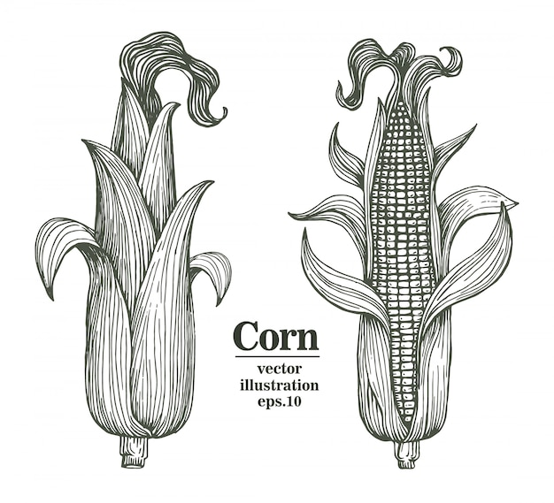 Vector corn on the cob with leaves hand drawn illustration.