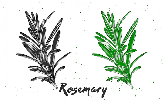 Vector engraved style illustration of rosemary