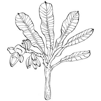 Вектор экзотических тропических гавайских летних пальмовых деревьев, джунглей, ботанических листьев, черно-белых бананов