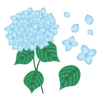 ベクトル花のデザイン:青ハイドラギアの花