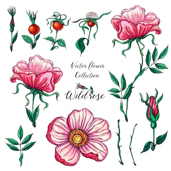 Vector floral set of wild rose flowers