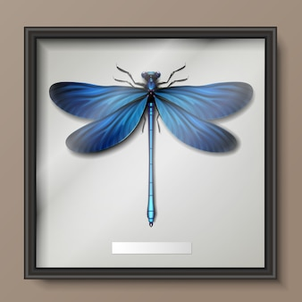 Vector framed realistic blue calopteryx virgo dragonfly hanging on wall close up top view