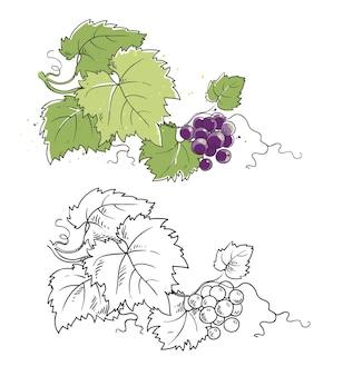 Vector grapevine line sketch and color illustration, grape