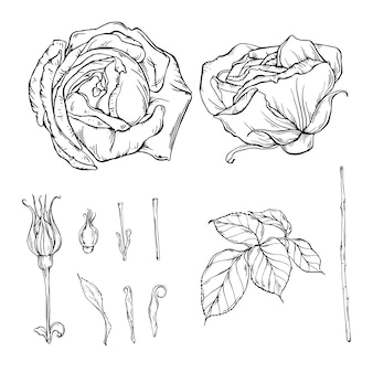 Vector graphic closed rose