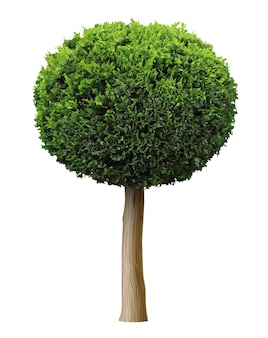 ベクトルグラフィックス3d。リアルな植物クロベ低木またはジュニパー形の球形の木