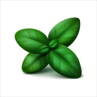 Vector green fresh basil leaves on white