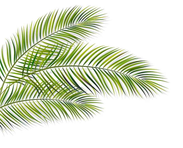 Vector green leaf of palm tree with overlay shadow isolated on white background