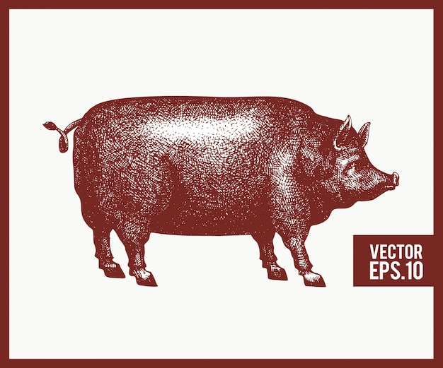 Vector hand drawn illustration of black pig silhouette. retro engraving style. sketch farm animal drawing.