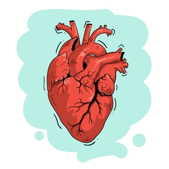 Vector illustration anatomical heart