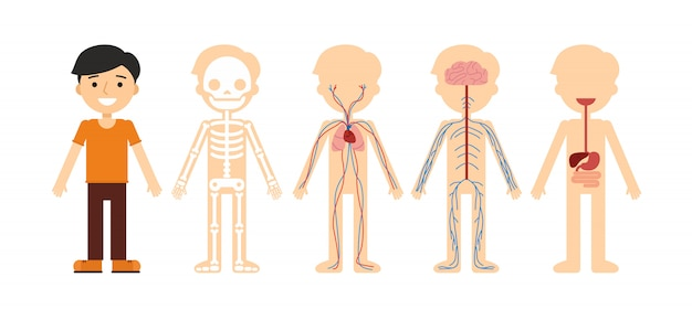 Vector illustration of body anatomy