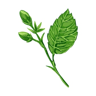 Vector illustration of a hibiscus plant flowers and leaves of a plant on a white isolated background