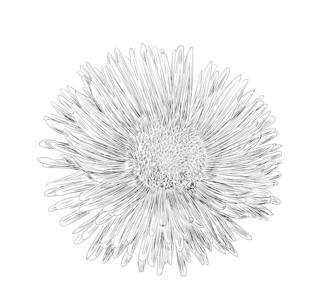 ベクトルイラスト、黒と白の色で孤立したアスターの花、アウトラインオリジナル手描きの描画