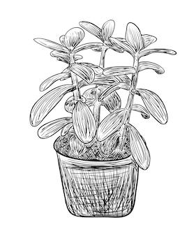 벡터 일러스트 레이 션, 흑백 색상의 고립 된 장식 crassula houseplant, 원래 손으로 그린 그림 개요