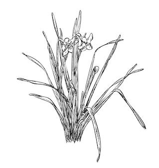 Векторная иллюстрация, изолированные цветы нарциссов нарциссов в черно-белых тонах, оригинальный контур, раскрашенный вручную рисунок