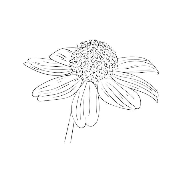 ベクトルイラスト、黒と白の色で孤立した多年生のルドベキアの花、元の手描きの図面の概要