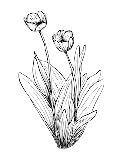 Векторная иллюстрация, изолированные цветы тюльпана в черно-белых тонах, оригинальный контур, раскрашенный вручную