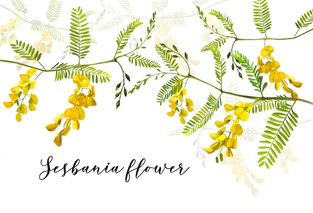 Vector illustration of sesbania flower