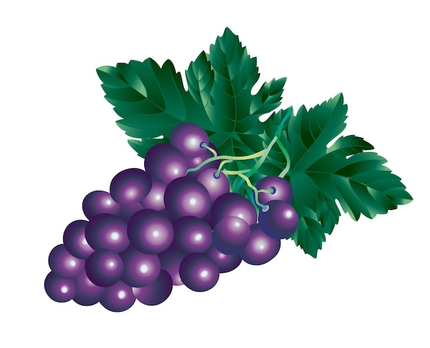 Vector image of a bunch of grapes