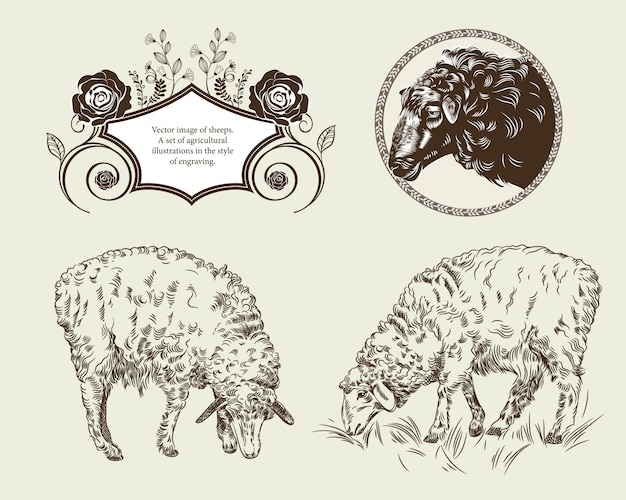Vector image of sheeps