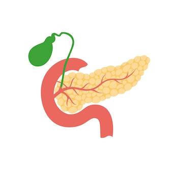 췌장, 십이지장 및 담낭 해부학의 벡터 격리된 그림입니다. 인간의 소화 시스템
