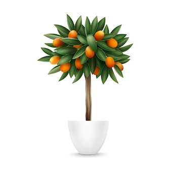 Vector kumquat tree with orange fruits and green leaves in pot isolated on white background