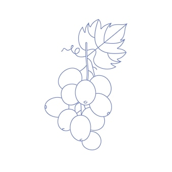 Vector linear illustration of grape branch with leaf isolated on white background.