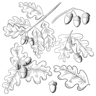 Вектор дубовый лист и желудь рисунок набор. осенние элементы.