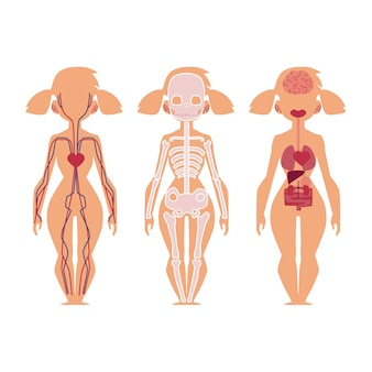 Vector people internal organs anatomy, structure