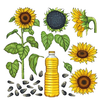Vector pictures of nature products. different sides of sunflower