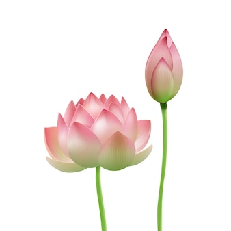 Vector pink lotus flower bud isolated on white background