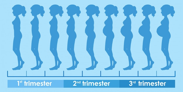 A vector of pregnancy progress