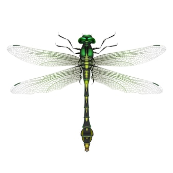 Vector realistic gomphus vulgatissimus dragonfly close up top view isolated on white background