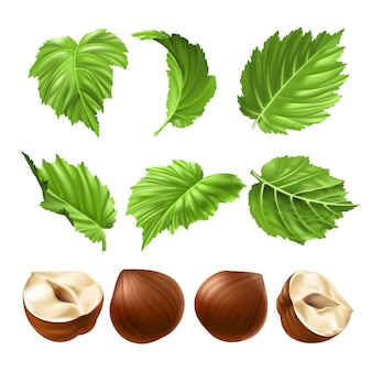 Vector realistic illustration of a peeled hazelnut and green hazel leaves
