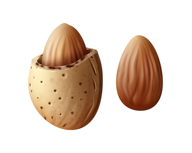 Vector realistic two almond nuts with shell close up side view isolated on white background