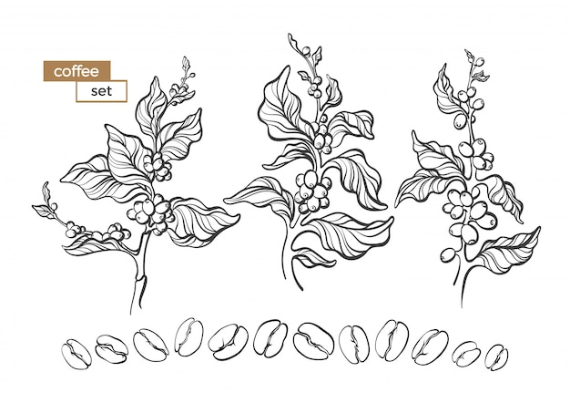 Vector set of coffee tree branch with flower, leaves and bean on white background