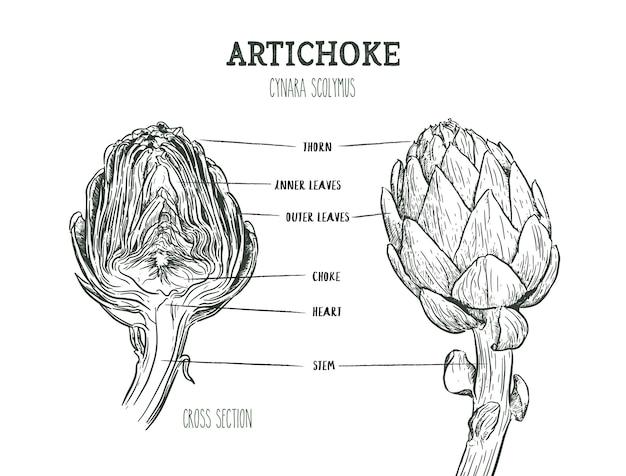 Векторный набор гравировки иллюстрации зеленые овощи артишока на белом