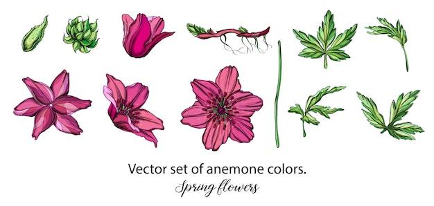 Vector set of purple anemone flowers. spring flowers