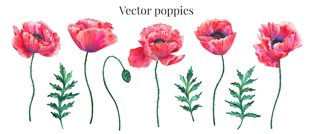 Vector set of red poppies with leaves and bud.