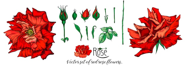 Vector set of red rose flowers.