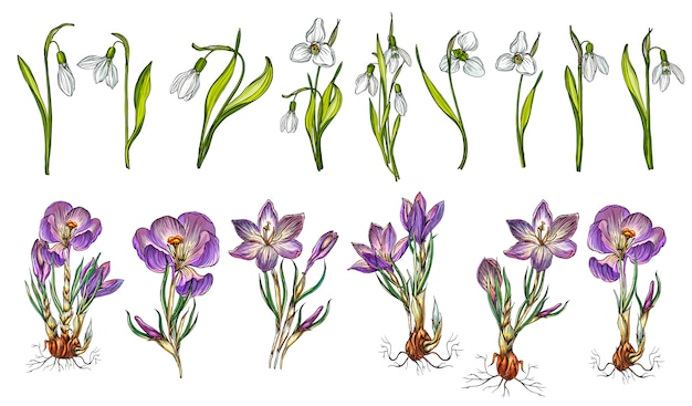 Vector set of snowdrop and crocus colors