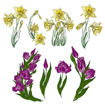 Vector set of tulip and narcissus flowers