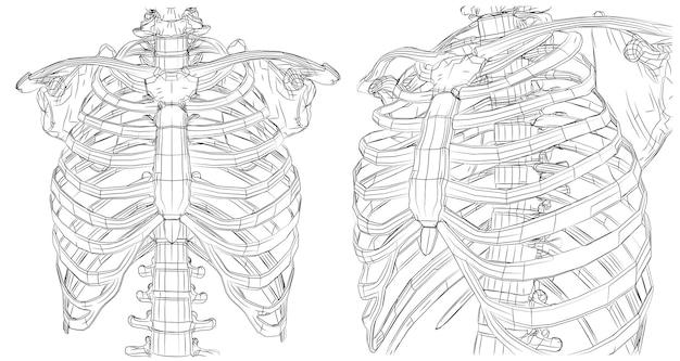 線とパス、輪郭の肋骨と白い背景の背骨からスケルトンをベクトルします。